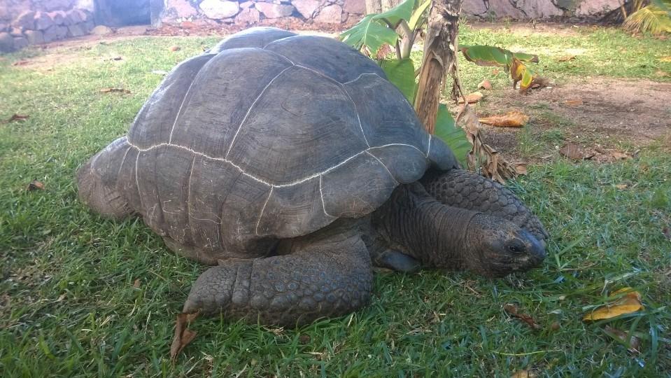 Żółw koszący trawę