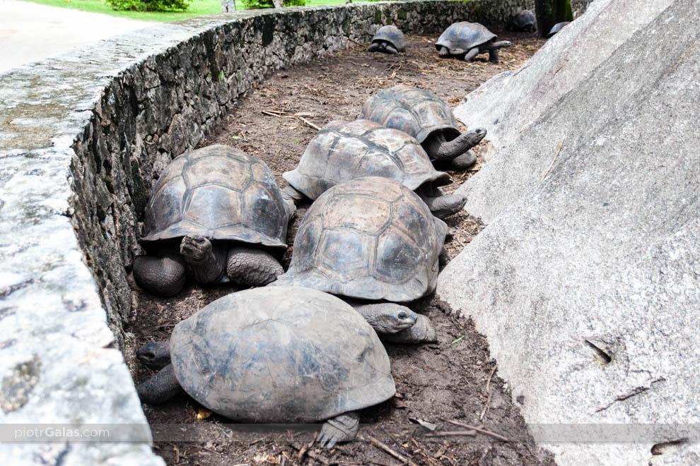 Żółwie olbrzymie na wybiegu w Union Estate Park