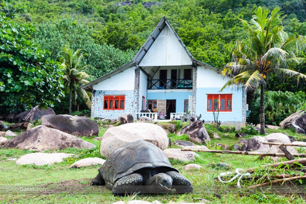 Żółwie olbrzymie przed chatką nieopodal restauracji Chez Jules przy plaży Anse Banene