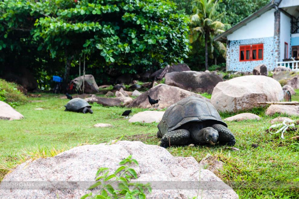 Żółwie olbrzymie przed chatką nieopodal restauracji Chez Jules p