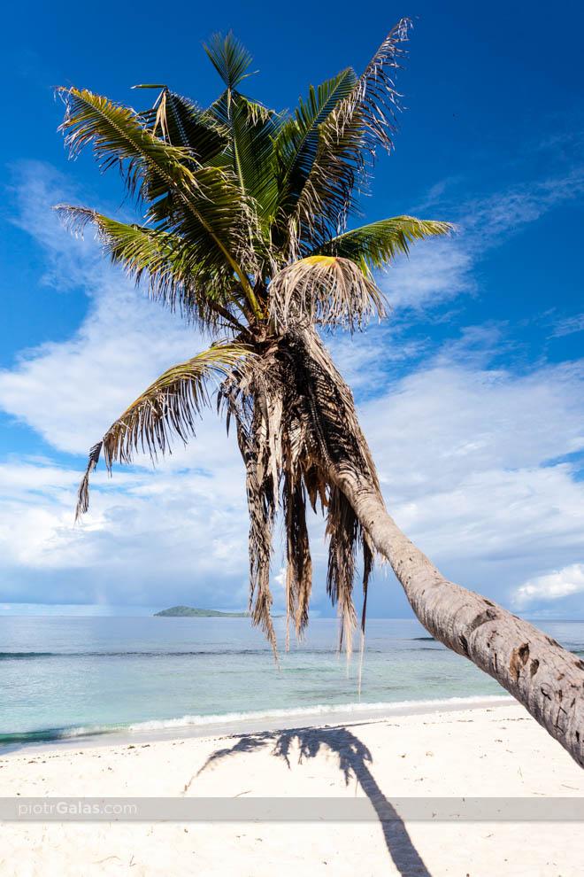 Samotna palma na plaży Anse Banane