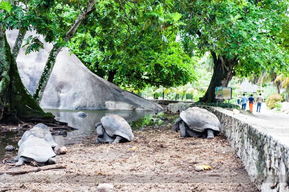 Figlujące żółwie olbrzymie w Union Estate Park