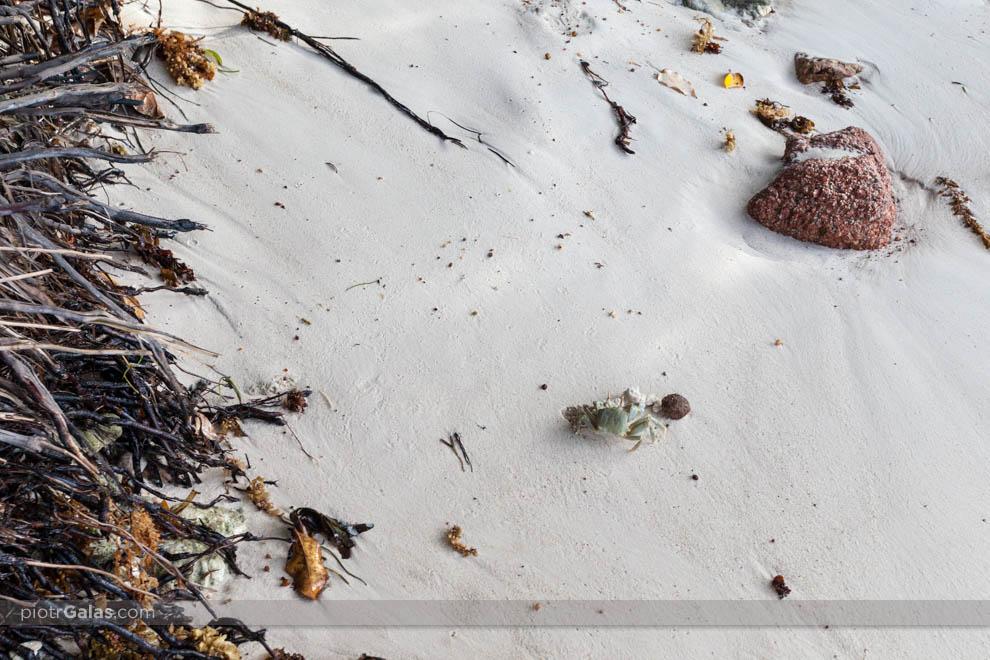 Krab na plaży Anse Patates