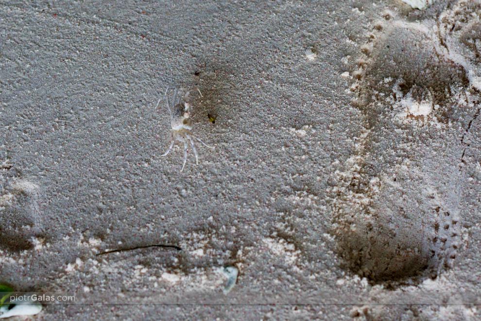 Krab przemierzający plażę
