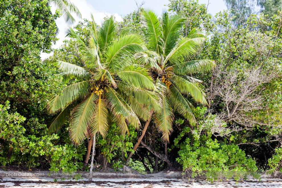 Palmy kokosowe na plaży Anse Severe