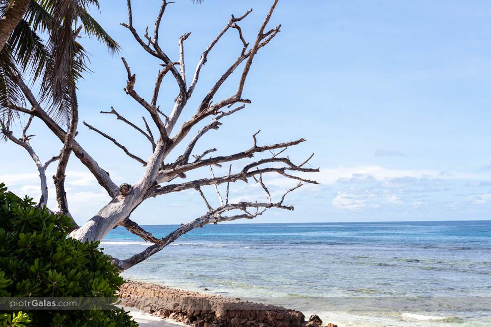 Plaża Anse Gaulettes z obumarłym drzewem