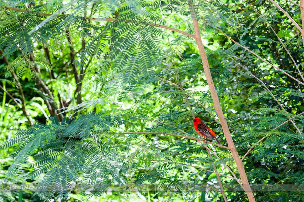 Ptak Czerwona Foudia