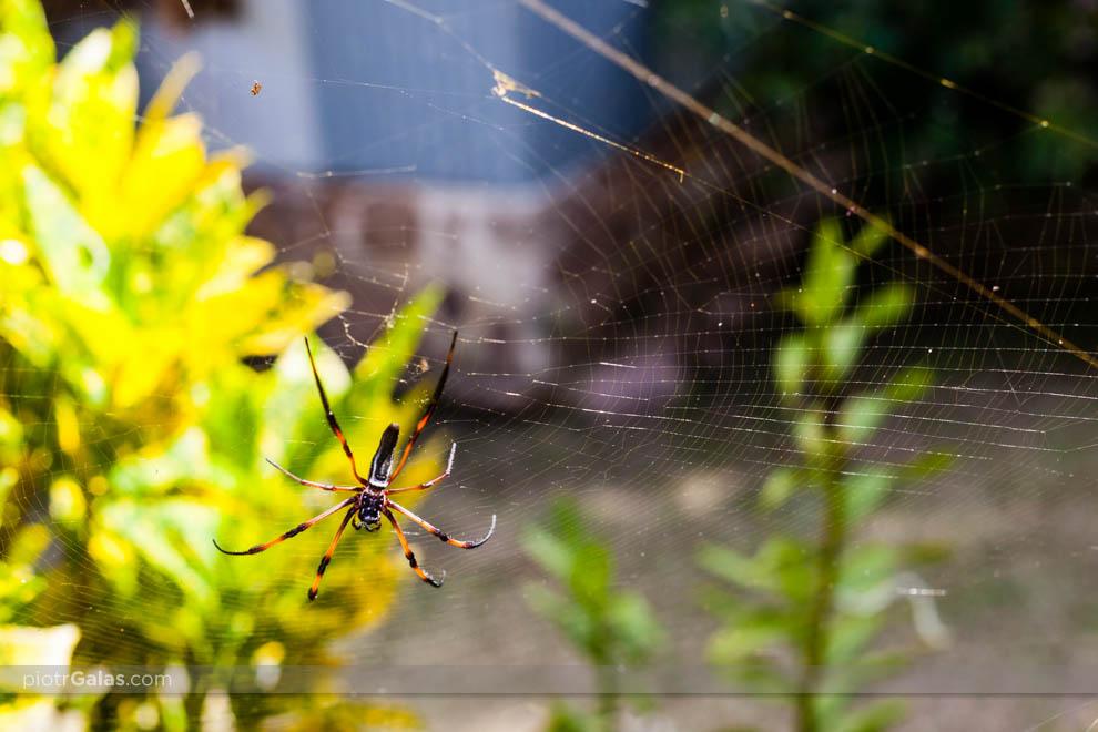 Samica pająka Palmowego (Nephila inaurata)