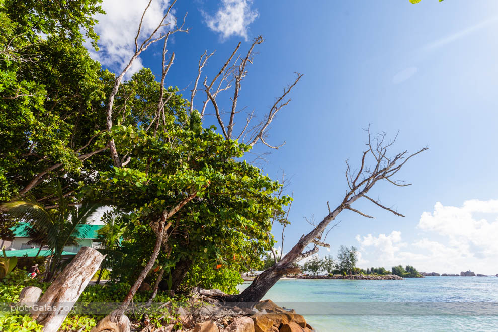 Stare drzewo na plaży La Passe